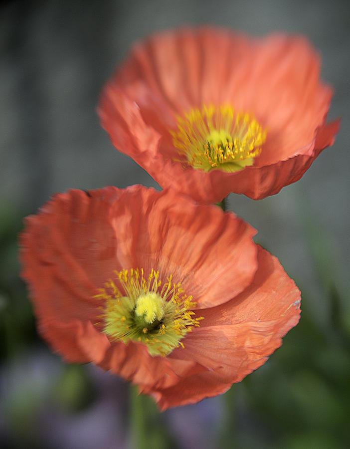 Poppys Photograph - Poppys by Barry Culling