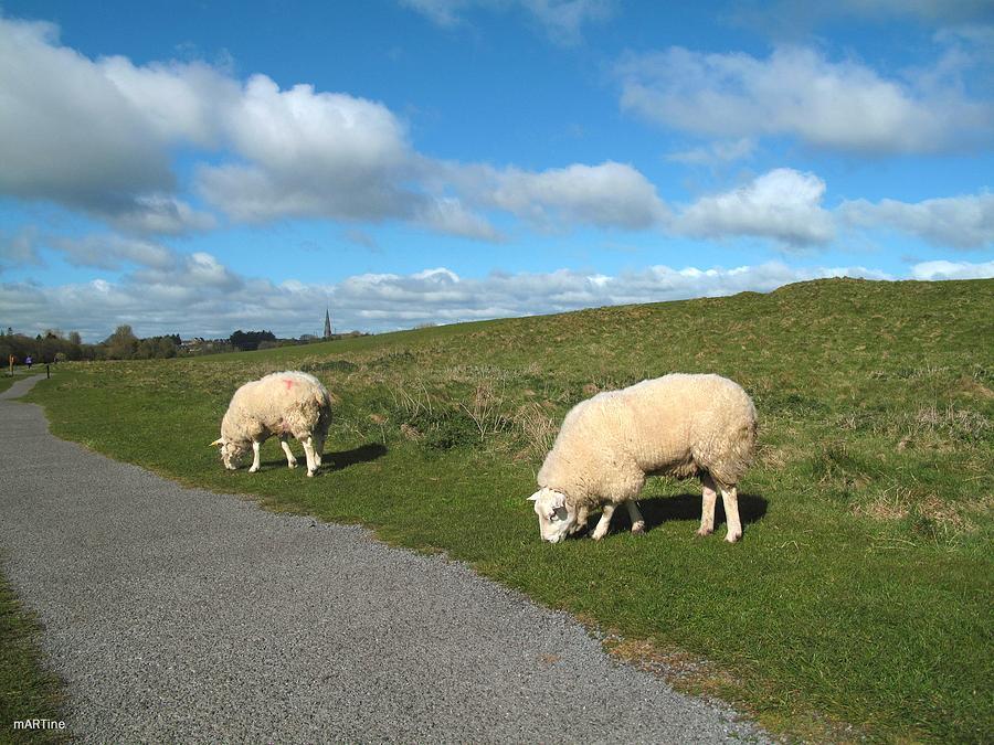 Porchfield Sheep Photograph