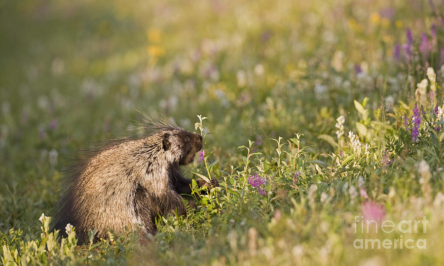 Porcupine Photograph - Porcupine In Flowers by Tim Grams