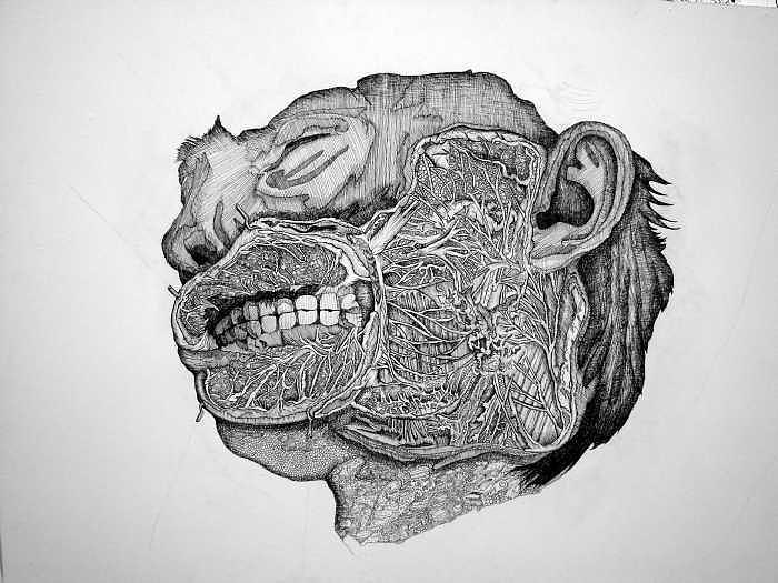 Medical Drawing - Porkchop by Emily Cash