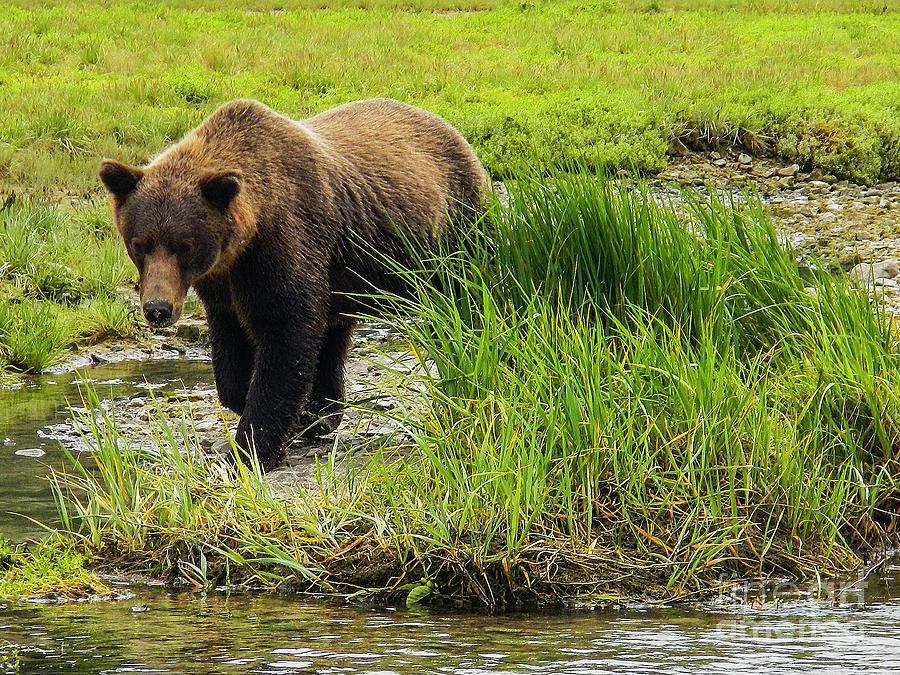 Alaska Photograph - Portrait Grizzly by Cyril Furlan