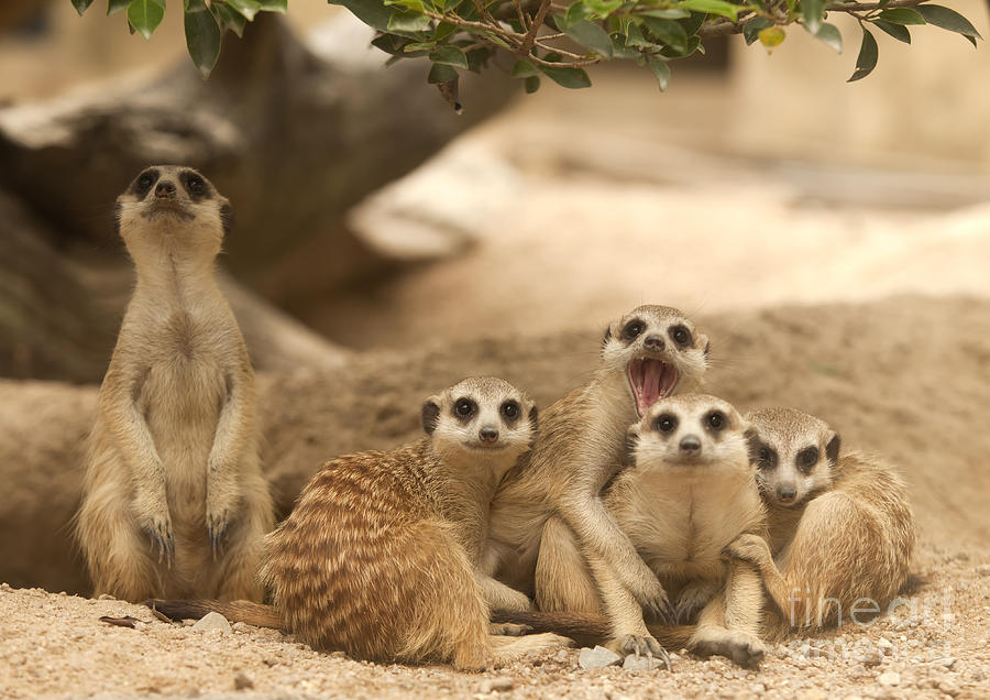 Adapted Photograph - Portrait Group Of Meerkat by Anek Suwannaphoom