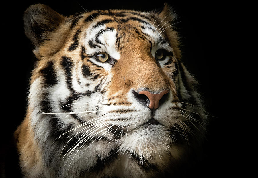 Portrait of a Bengal Tiger by Serena Vachon
