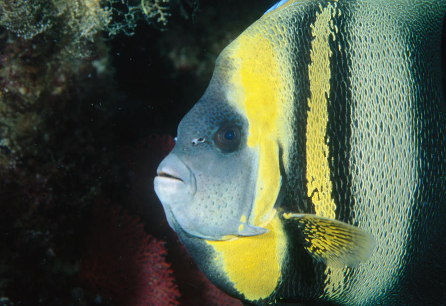Sea Of Cortez Photograph - Portrait Of A Cortez Angelfish by James Forte