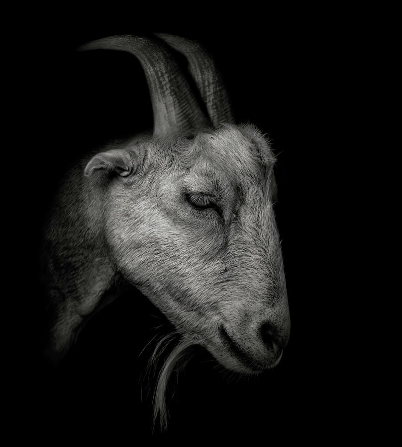 Goat Photograph - Portrait Of A Goat by David Gn