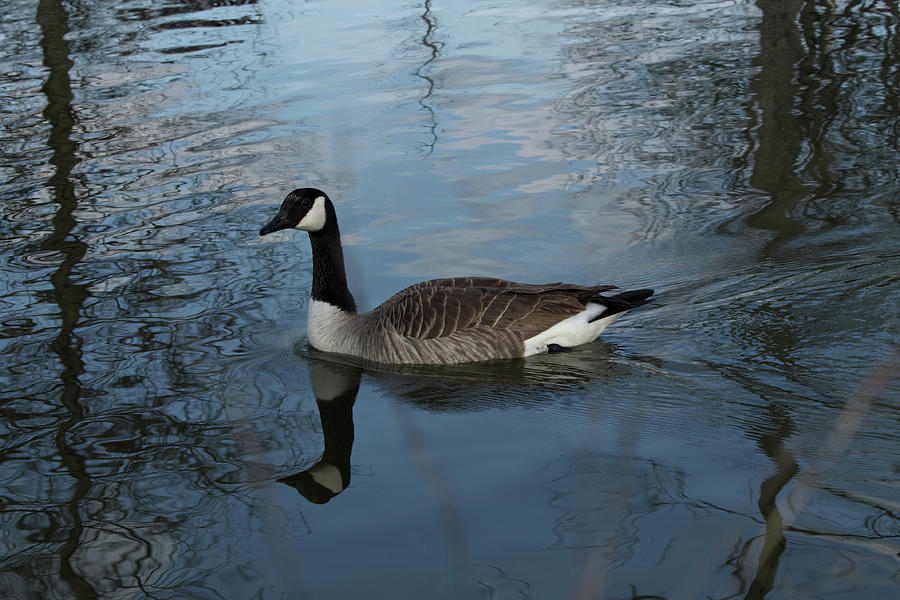 Portrait of a Goose by Shoeless Wonder