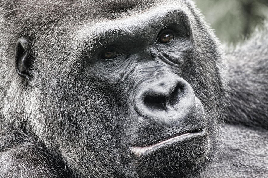 Gorilla Photograph - Portrait Of A Gorilla by Jeff Swanson