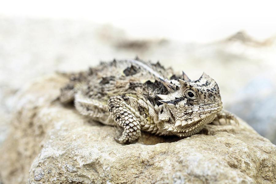 Phrynosoma Cornutum Photograph - Portrait Of A Horned Lizard by JC Findley