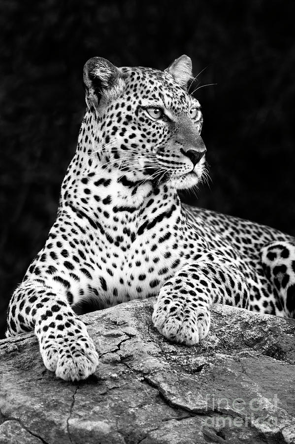 Leopard Photograph - Portrait Of A Leopard by Richard Garvey-Williams