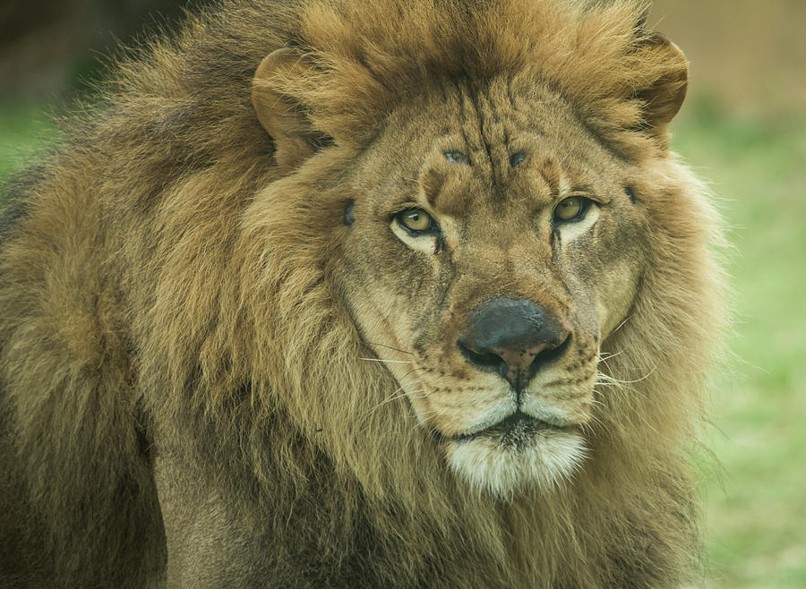 Portrait of a Lion by Serena Vachon