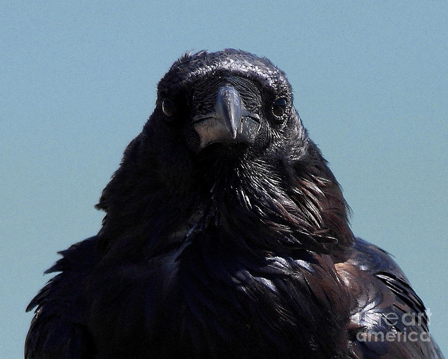 Bird Photograph - Portrait Of A Raven by Wingsdomain Art and Photography