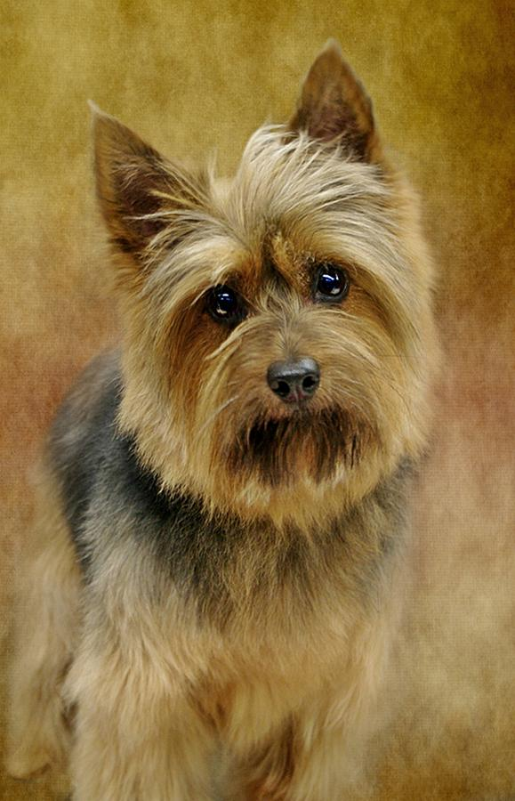 Silky Terrier Photograph - Portrait Of A Silky Terrier by Stephanie Calhoun