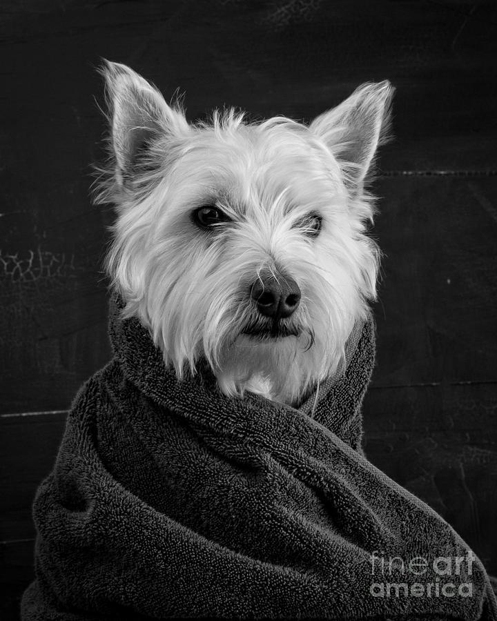 Animal Photograph - Portrait Of A Westie Dog 8x10 Ratio by Edward Fielding