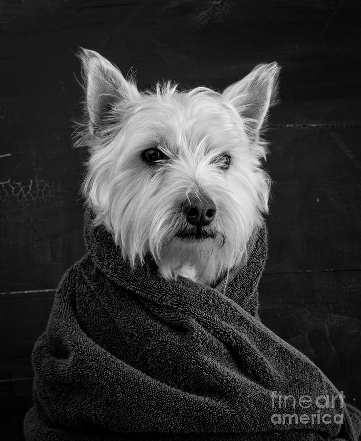 Animal Photograph - Portrait Of A Westie Dog by Edward Fielding