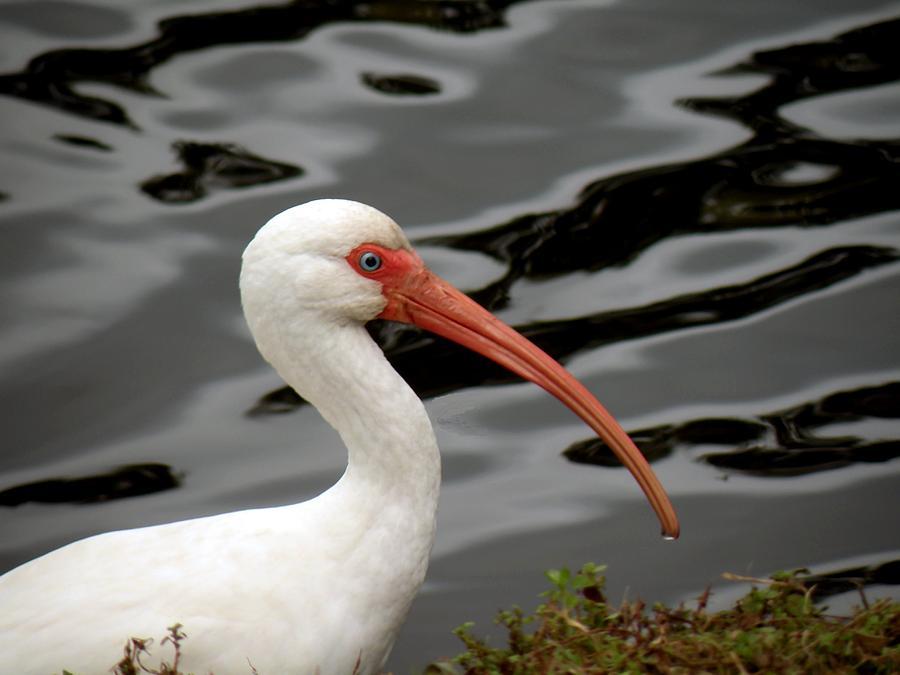 Birds Photograph - Portrait Of A White Ibis by Rosalie Scanlon