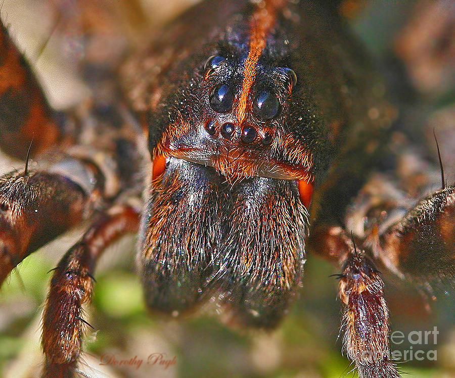Macro Photograph - Portrait Of A Wolf Spider by Dorothy  Pugh