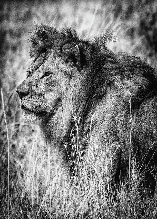 Portrait of African Lion by Lev Kaytsner