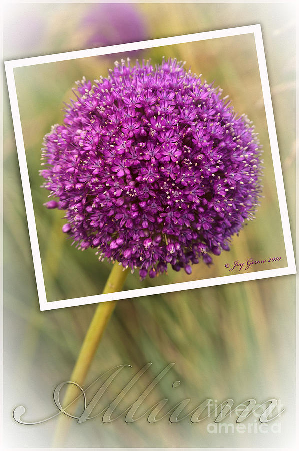 Allium Photograph - Portrait Of An Allium by Joy Gerow