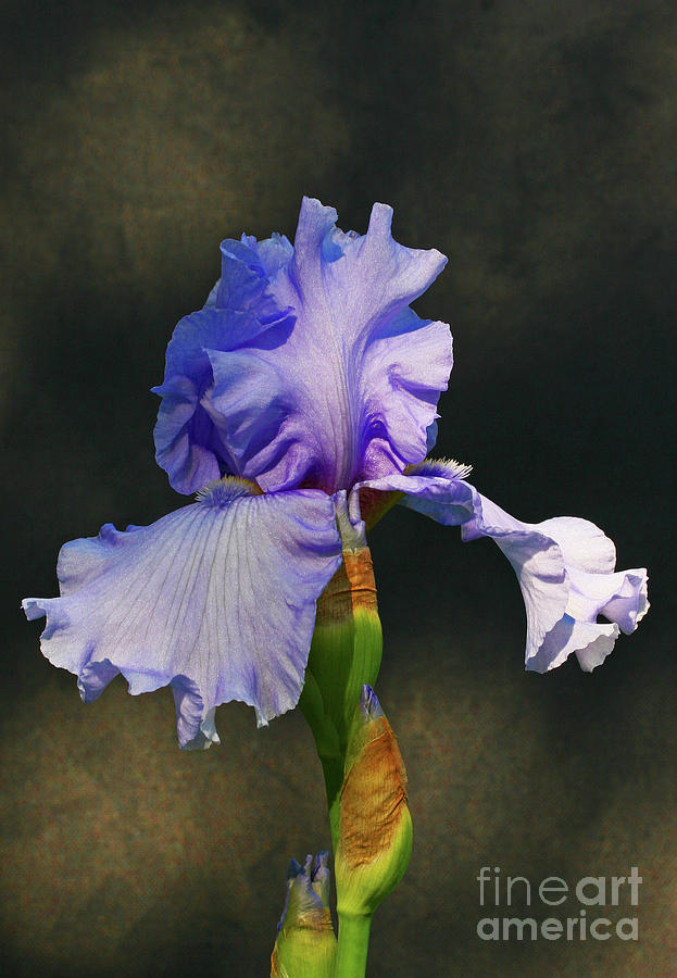 Iris Photograph - Portrait Of An Iris by Steve Augustin