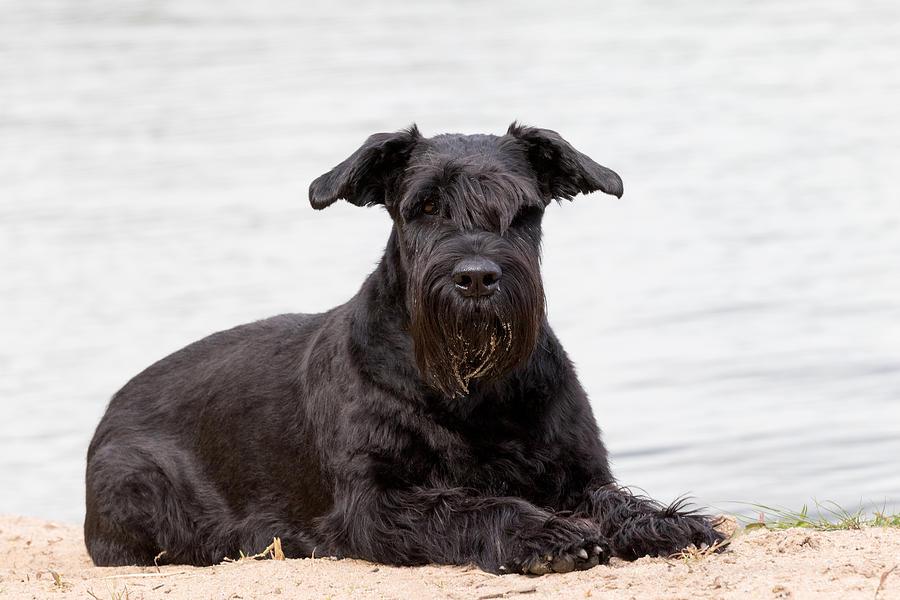 Portrait Of Big Black Schnauzer Dog Photograph