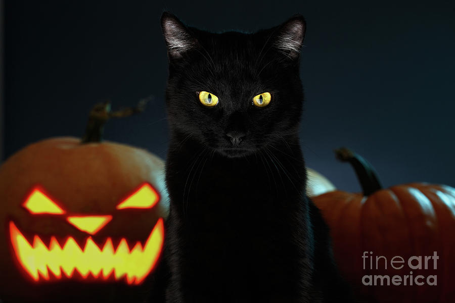 Portrait of Black Cat with pumpkin on Halloween by Sergey Taran