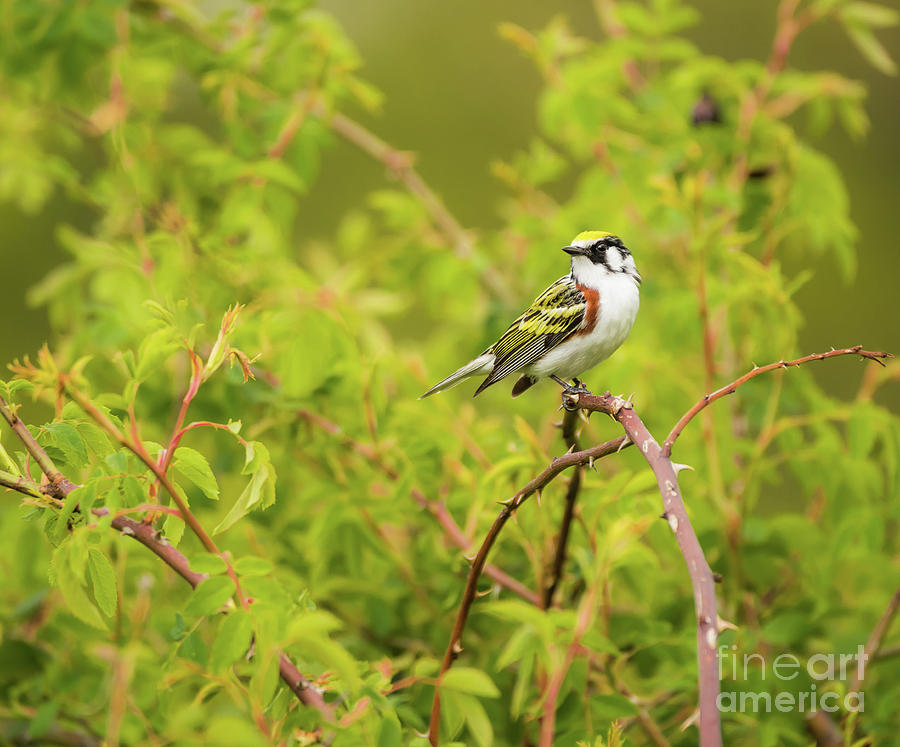 Portrait of Chestnut-Sided Warbler Photograph by Heather Hubbard