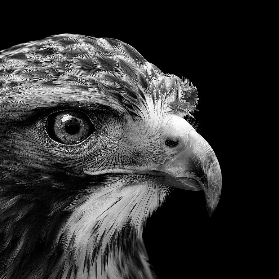 portrait buzzard bird lukas holas common photograph photographs birds poster which fine america medium frame fineartamerica 13th uploaded march wall