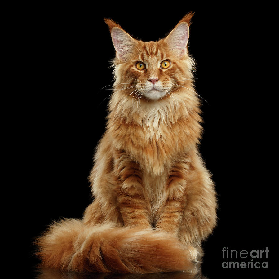 Angry Photograph - Portrait Of Ginger Maine Coon Cat Isolated On Black Background by Sergey Taran