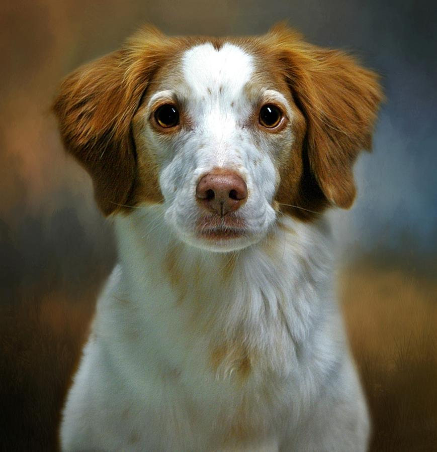 Brittany Spaniel Photograph - Portrait Of Gracie by Stephanie Calhoun