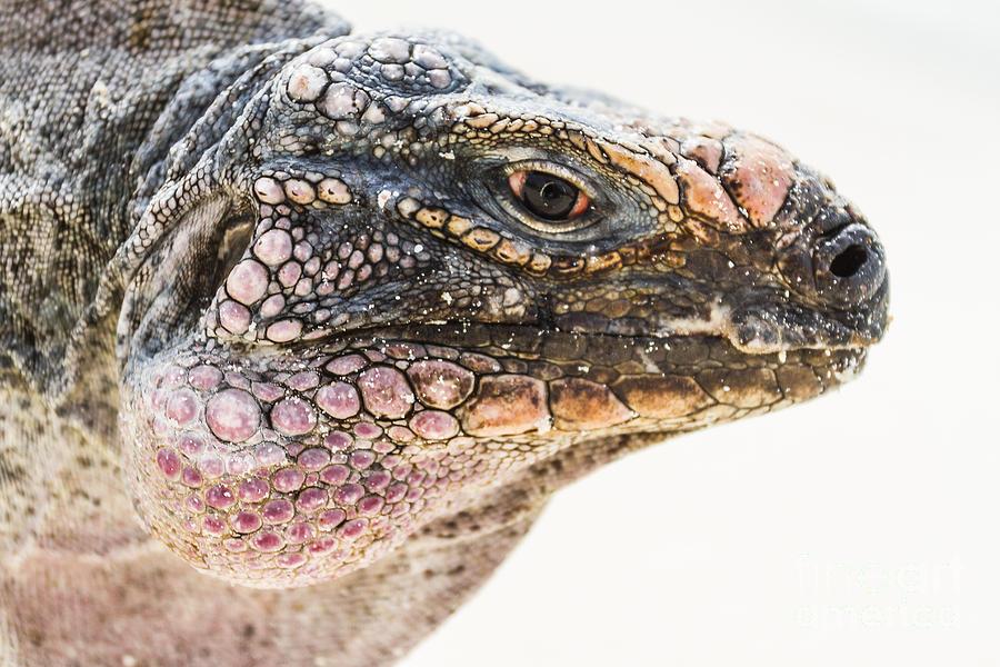 Iguana Photograph - Portrait Of Iguana by Pier Giorgio Mariani