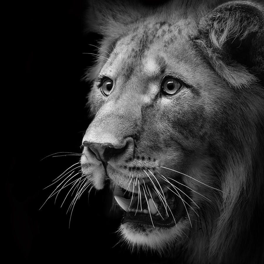 Lion Photography Black And White Black And White Photography