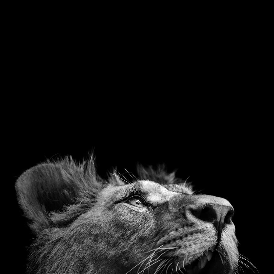 Portrait Of Lion In Black And White Iii Photograph By Lukas Holas