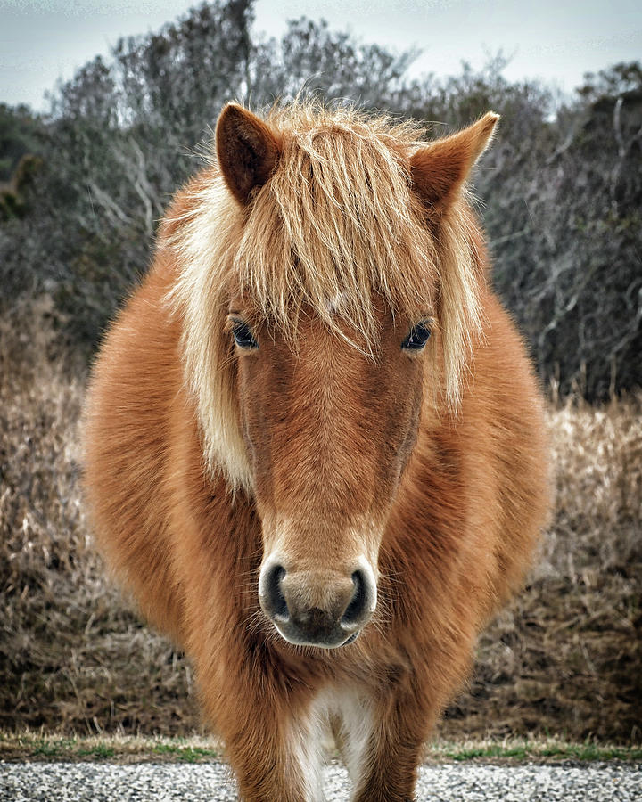 Portrait of Mieke's Noe'lani by Assateague Pony Photography