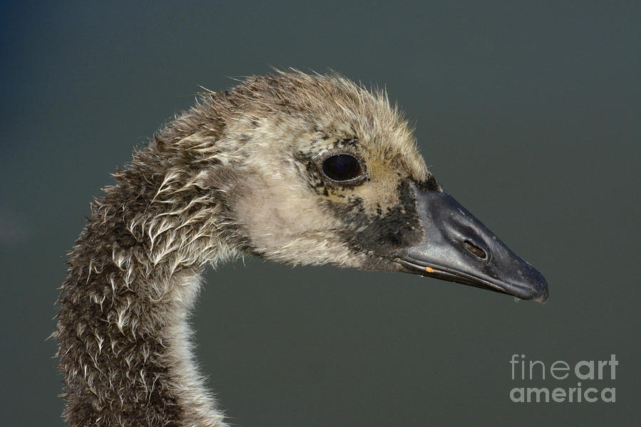 Canada Goose Photograph - Portrait Of Month Old Canada Goose Gosling by Merrimon Crawford