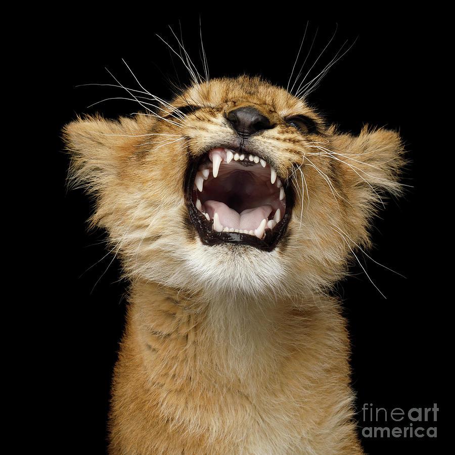 Portrait of roaring little lion by Sergey Taran