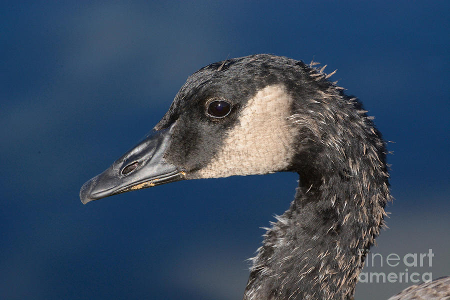 Canada Goose Photograph - Portrait of Young Canada Goose by Merrimon Crawford