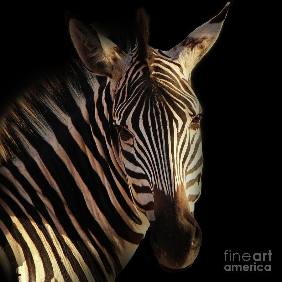 Zebra Photograph - Portrait Of Zebra by Barbara Dudzinska