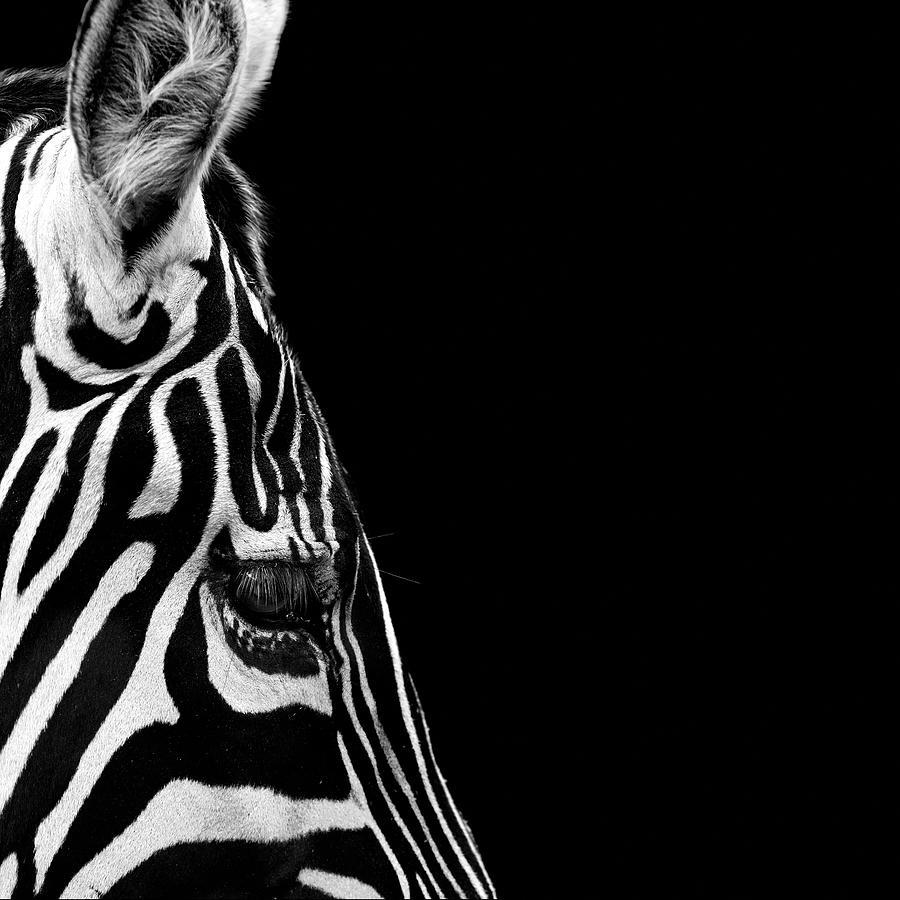 Zebra Photograph - Portrait of Zebra in black and white IV by Lukas Holas