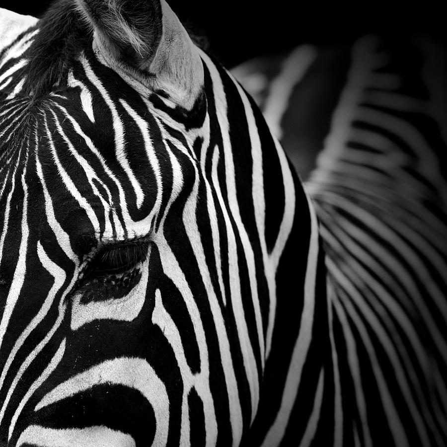 portrait of zebra in black and white v photograph by lukas holas