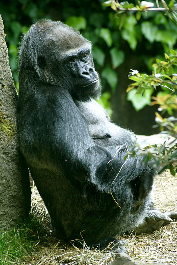 Animal Photograph - Posing Gorilla by Sonja Anderson