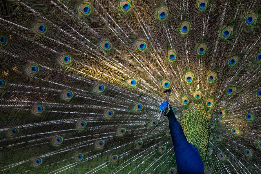 Peacock Photograph - Posing Peacock by Jim Neal