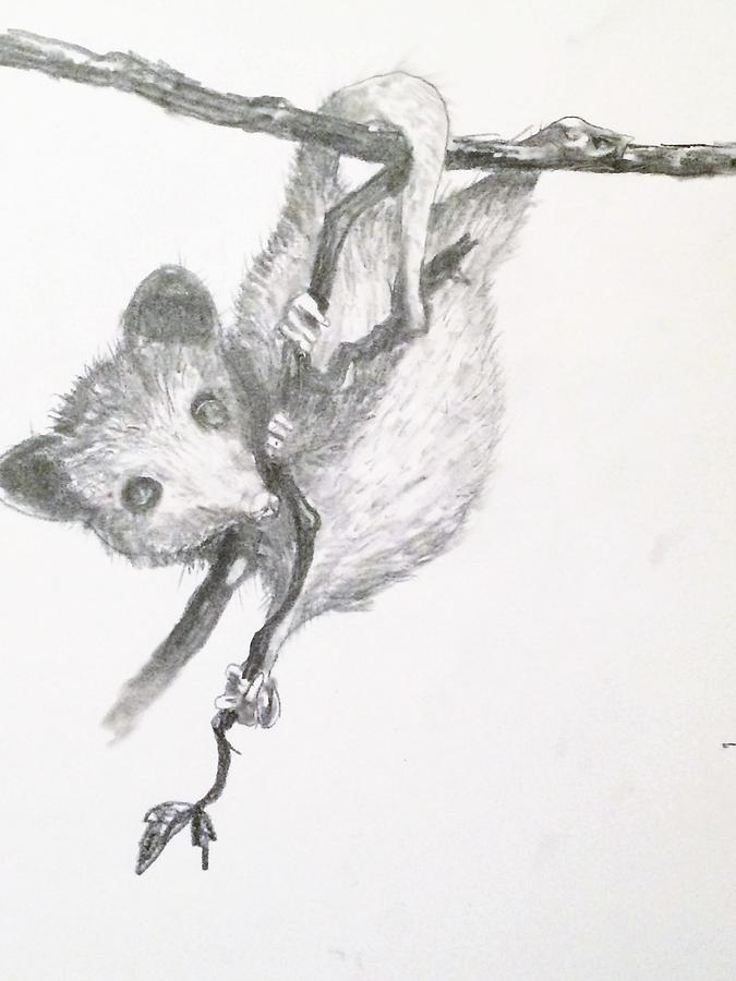 Possum Baby Drawing By Jennifer Thomas