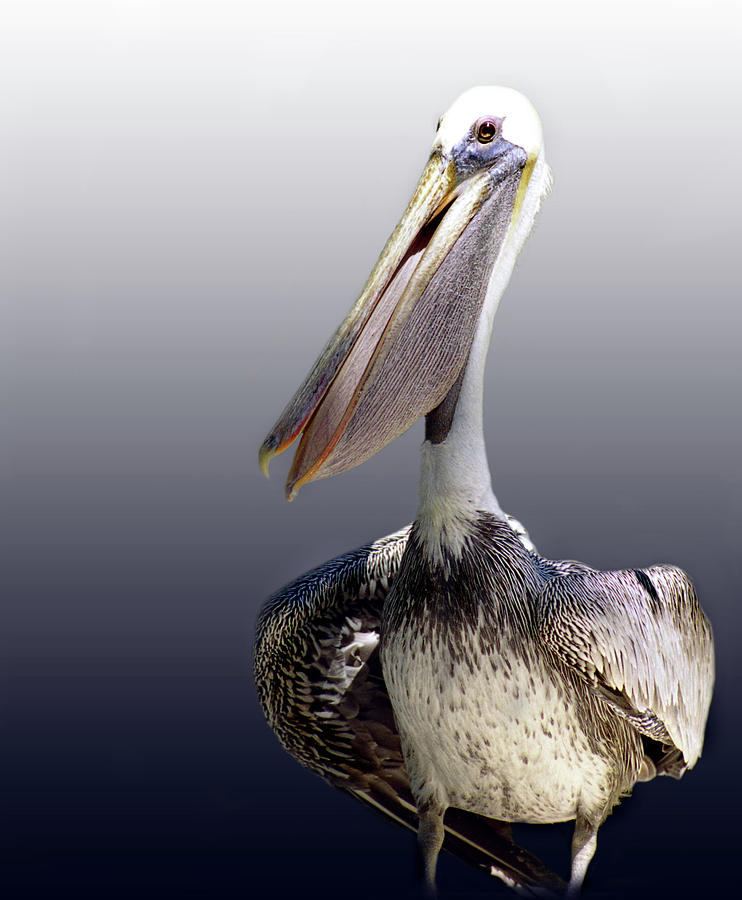 Pelican Photograph - Pouches by Skip Willits