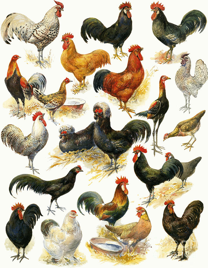 Poultry Painting - Poultry by English School