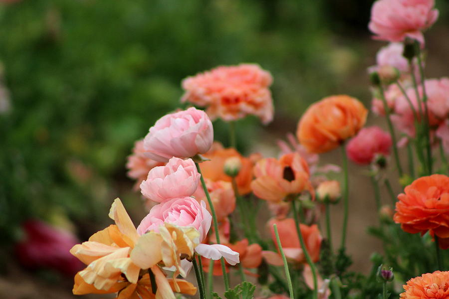 Salmon Pink Photograph - Powder Pink and Salmon Ranunculus by Colleen Cornelius