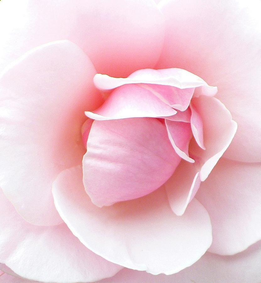 Botanical Photograph - Powder Puff Rose by Florene Welebny