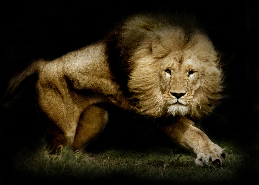 Lion Photograph - Power by Animus  Photography