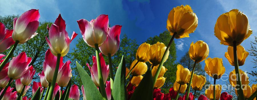 Background Photograph - Power Of Spring. Bugs Eye View Of Colourful Tulips Panorama With Clean Blue Sky Contrast. by Akshay Thaker