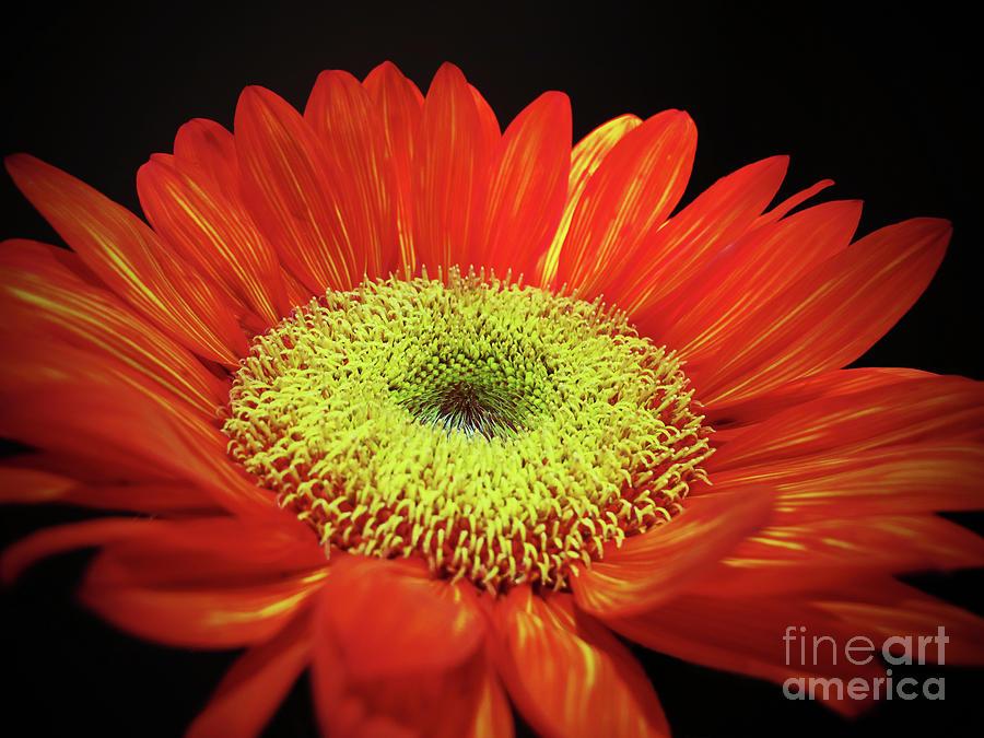 Prado Red Sunflower by Kelly Holm