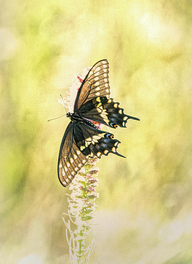Prairie Butterfly 2 by Patricia Cale